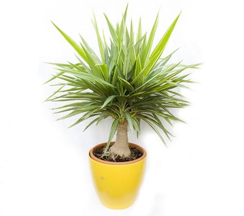 yucca-jewel