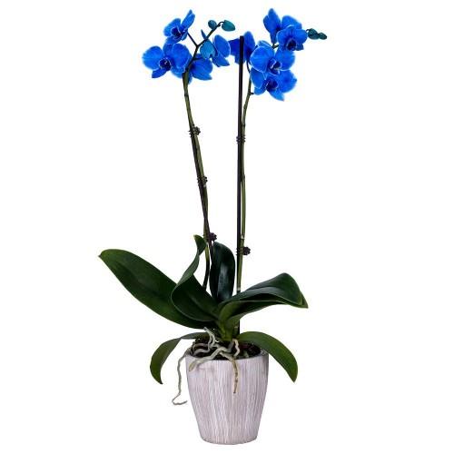 orhideie-albastra-2-crengute
