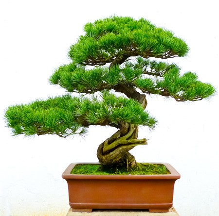 bansai-pine