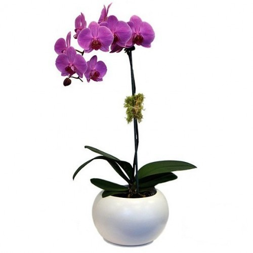 orhideie-violet-1-crenguta