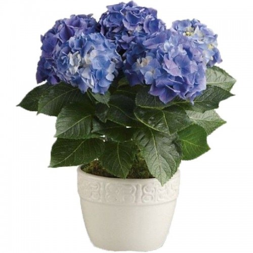 hortensie-albastra
