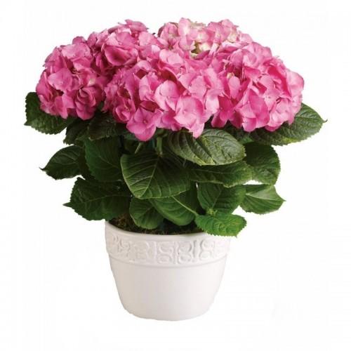 hydrangea-roz