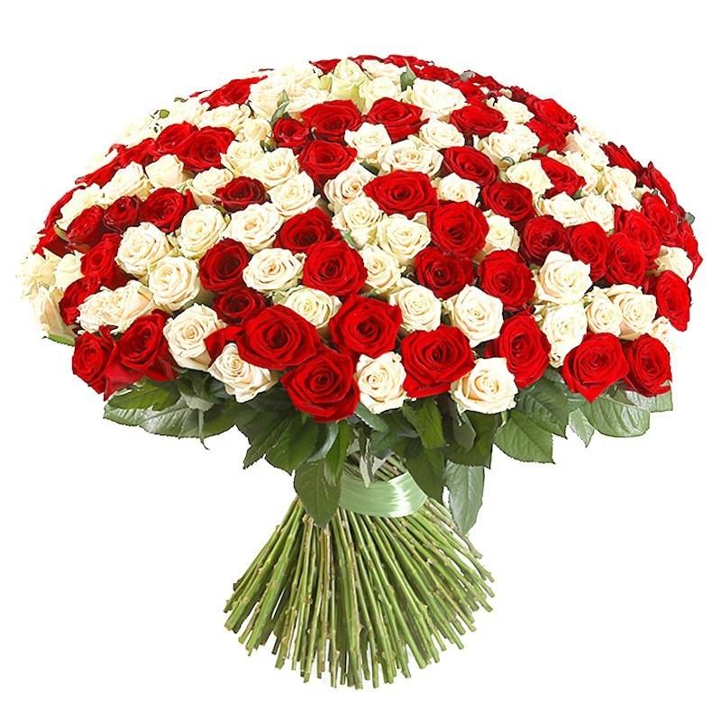 101 Trandafiri alb-rosu